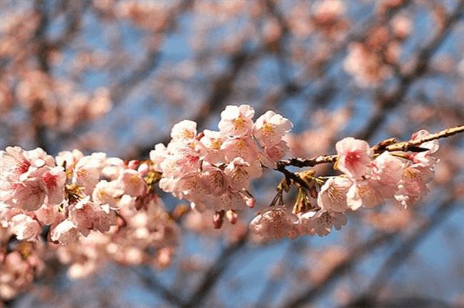 It's Sakura Season! Grab Snacks & Go Ohanami.