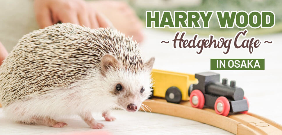 Harry Wood - Hedgehog Cafe in Osaka